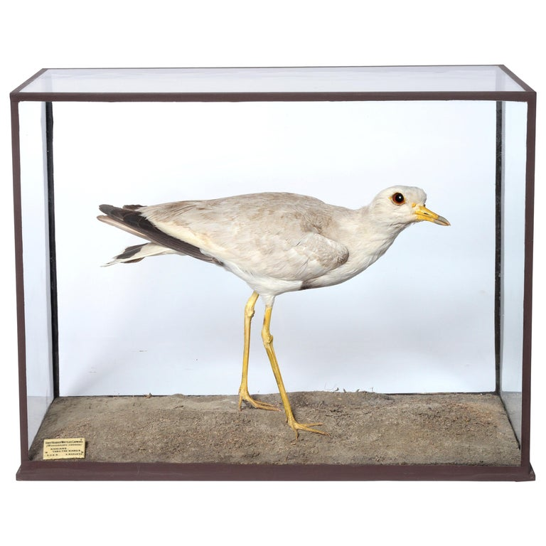 Edwardian Cased Grey-Headed Wattled Lapwing by Rowland Ward For Sale