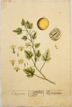 Colocynthis; Pl. 441