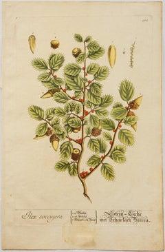 Ilex coccigera; Pl. 185