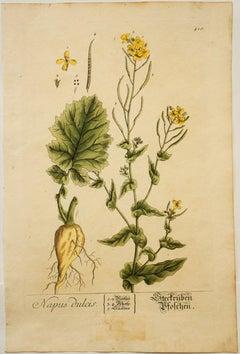Napus dulcis; Pl. 410
