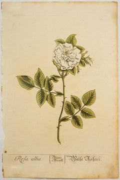 Rosa alba; Pl. 73