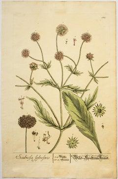 Scabiols sylvestris; Pl. 185
