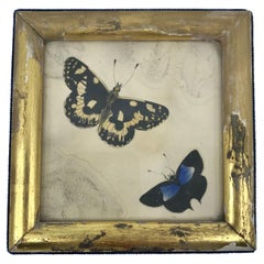 English Butterflies in Gilt Frame