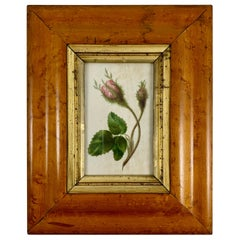 English Regency Period Original Watercolor in Fruitwood Frame, Pink Hairy Rose