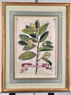 """Engraving """"Citri Flores"""" By Giovanni Battista Ferrari, 1655"""
