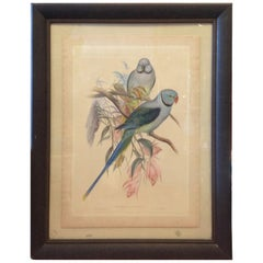 Enormous John Gould Hand Colored Engraving of Parrots