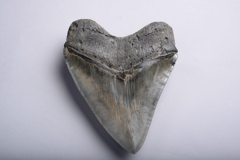 Enormous Megalodon Shark Tooth Fossil In Good Condition For Sale In London, GB