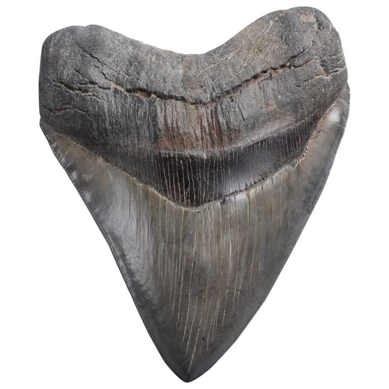 Enormous Megalodon Shark Tooth Fossil For Sale