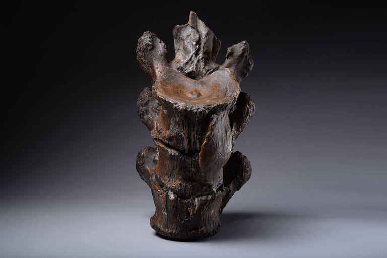 A fascinating Prehistoric relic, a section of vertebrae from a straight-tusked elephant (Elephas antiquus), a now long extinct species. Dating to the early Pleistocene epoch, approximately 781,000 - 50,000 years before present.  These three