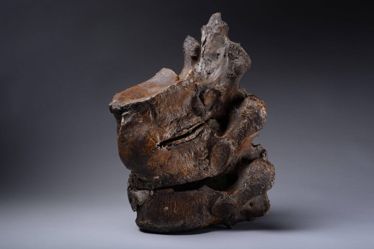 18th Century and Earlier Enormous Prehistoric Ice Age Vertebrae of a Straight Tusked Elephant For Sale