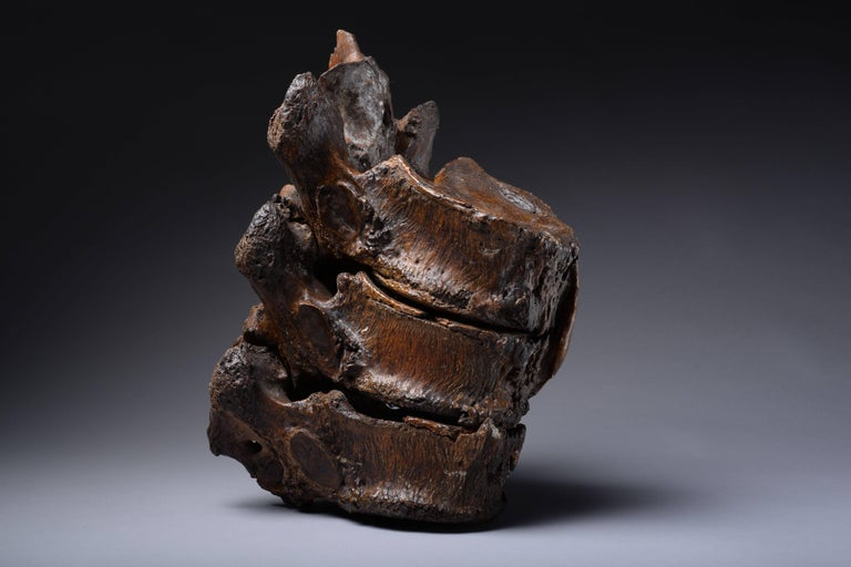 Enormous Prehistoric Ice Age Vertebrae of a Straight Tusked Elephant For Sale 1