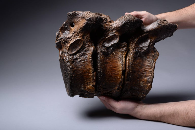 Enormous Prehistoric Ice Age Vertebrae of a Straight Tusked Elephant For Sale 4