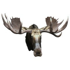 Enormous shoulder mount of a Canadian 'Yukon' Moose. Alpine chalet eye cather