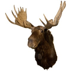 Enormous Shoulder Mount of a Canadian 'Yukon' Moose, Alpine Chalet Eyecather