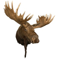 Enormous Shoulder Mount of a Massive Canadian Moose