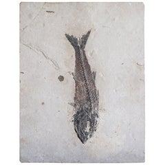 Eocene Mioplosus Fish Fossil on Limestone, Green River Formation, Wyoming USA