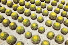 "Cacti  - large format photograph of iconic desert cactus landscape 48"" x 72"""