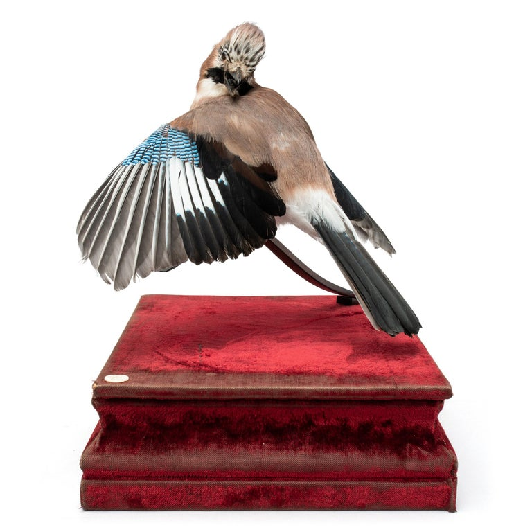 Eurasian jay Fine Taxidermy by DS&vT 2