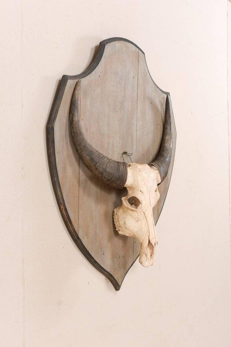 European Vintage Water Buffalo Skull Mounted On Shield