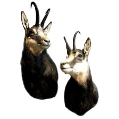 Excelent piece of Taxidermy. A pair of Chamois