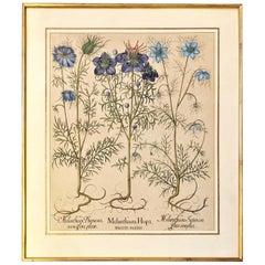 Exceptional Basilius Besler of Melanthium Hispa