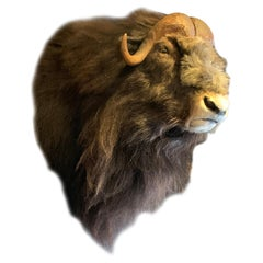 Exclusive Piece of Taxidermy Musk Ox