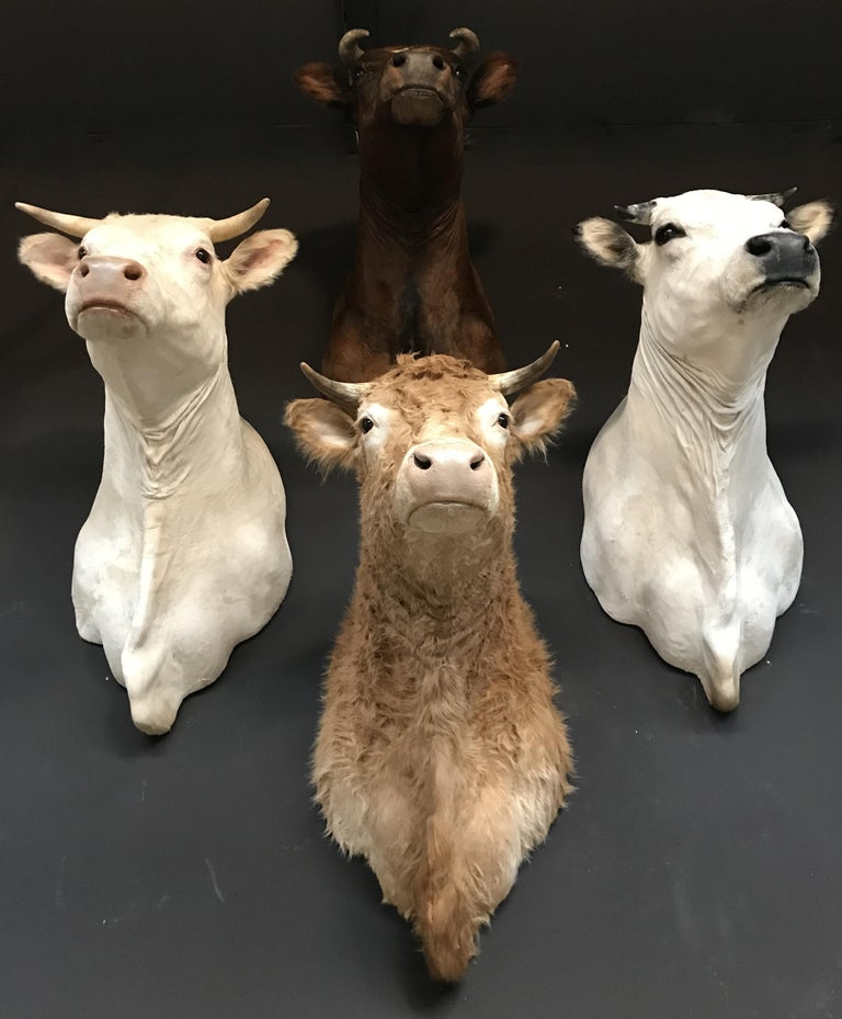 Exclusive set of four recently taxidermy cow heads. There are four varieties: Blonde Limousin, Piedmontes, Fire Red Cow and Blonde d'Aquitaine. The heads are made very lifelike and are of a very high quality.  Also available separately.  The