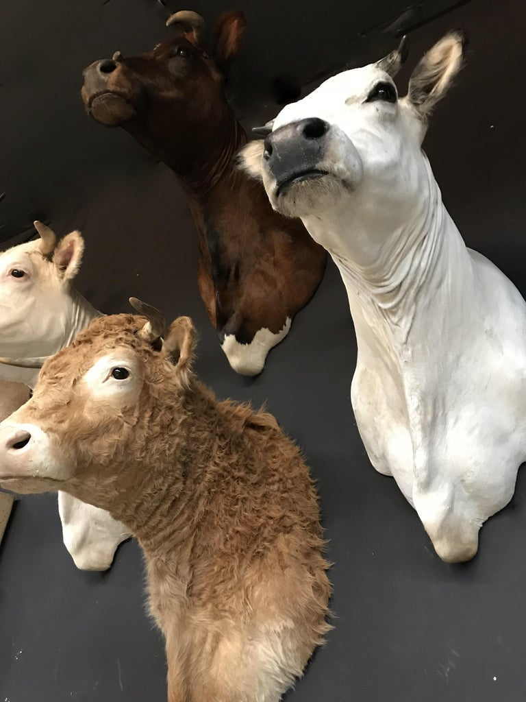 Exclusive Set of Four Recently taxidermy Cow Heads For Sale 2