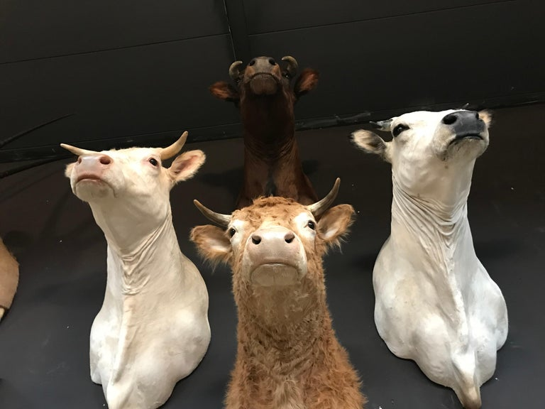 Exclusive Set of Four Recently taxidermy Cow Heads For Sale 3