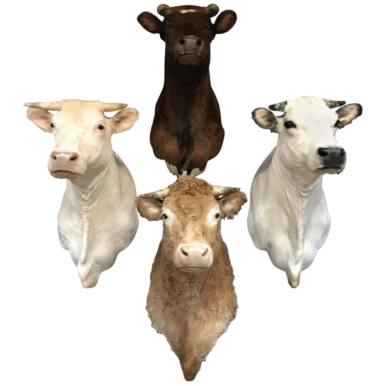 Exclusive Set of Four Recently taxidermy Cow Heads For Sale