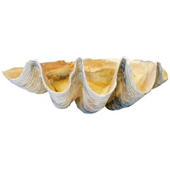 Extra Large Natural Tridacna Gigas High Elbow Clam Shell