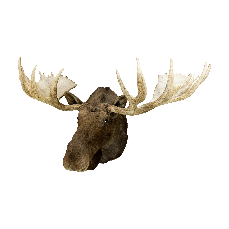 Extra Large Yukon Moose Taxidermy Mount