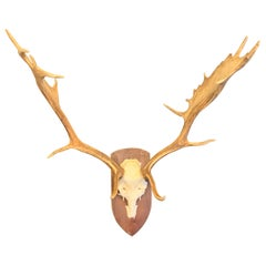 Fallow Deer Antlers on Wooden Base