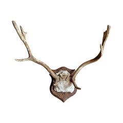 Fallow Deer Trophy Mount