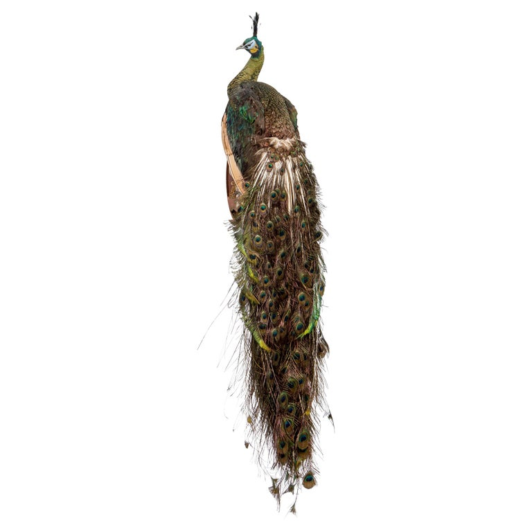 Fantastic Taxidermy Green Java Peacock, 20th Century For Sale