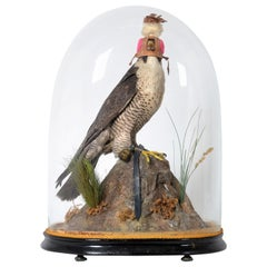 Fantastic Victorian Dome with Taxidermy Hooded Peregrine Falcon, 19th Century