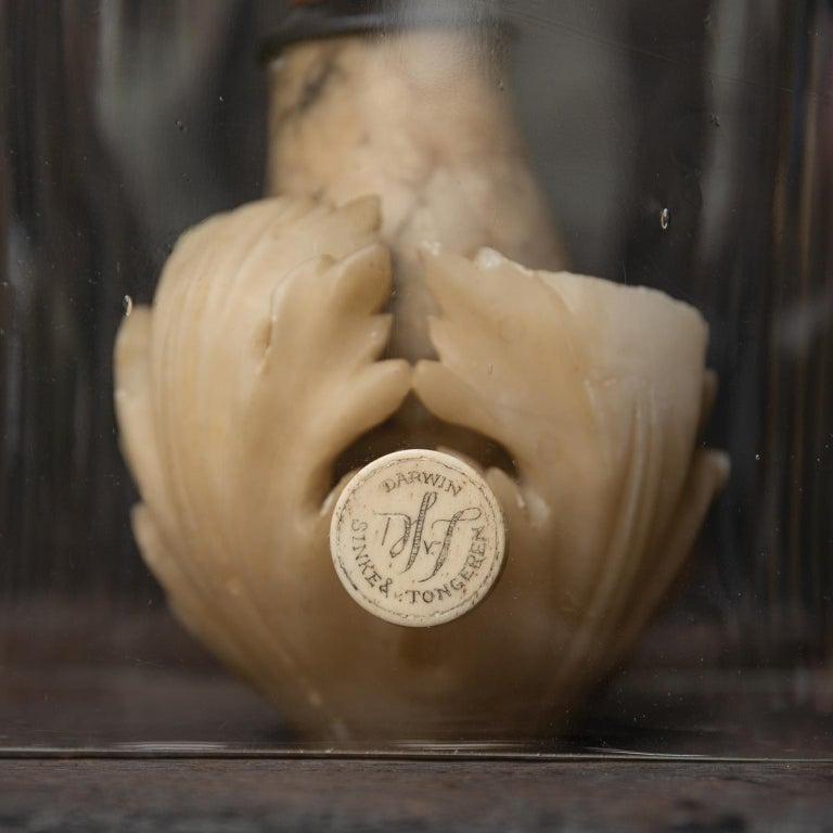 Fine Taxidermy Laughing Kookaburra by Sinke & Van Tongeren For Sale 4