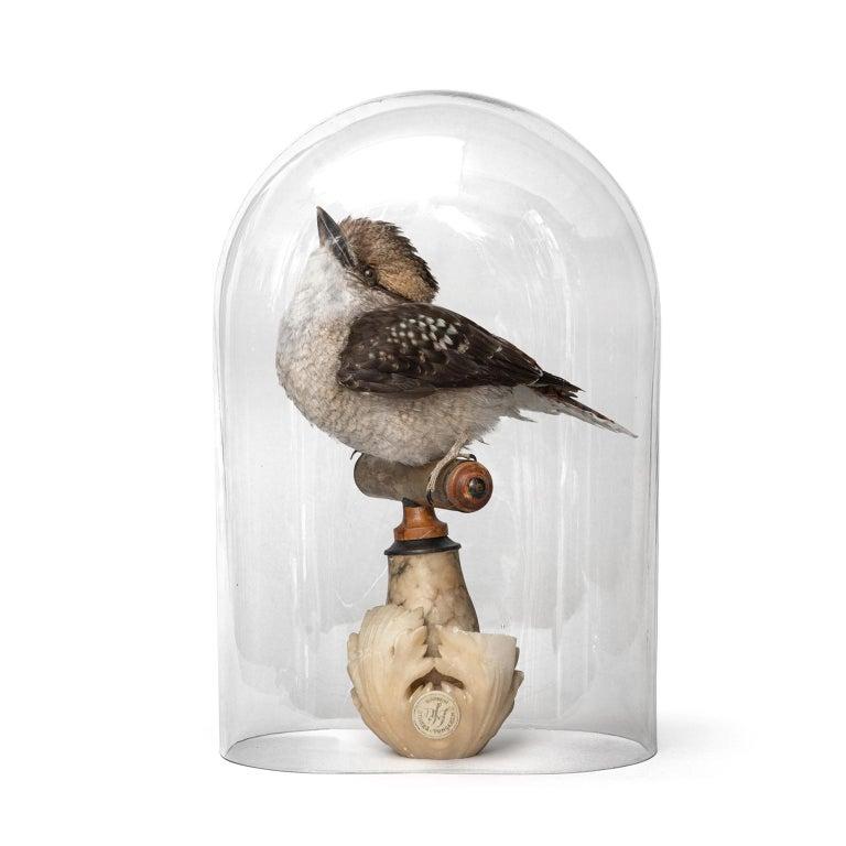 Fine Taxidermy Laughing Kookaburra by Sinke & Van Tongeren For Sale 9