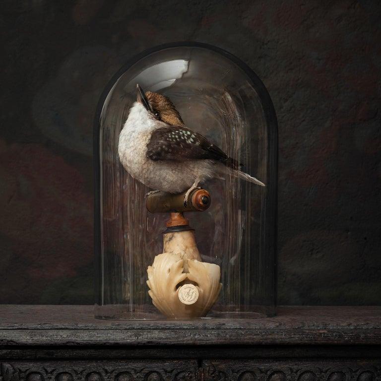 Victorian Fine Taxidermy Laughing Kookaburra by Sinke & Van Tongeren For Sale