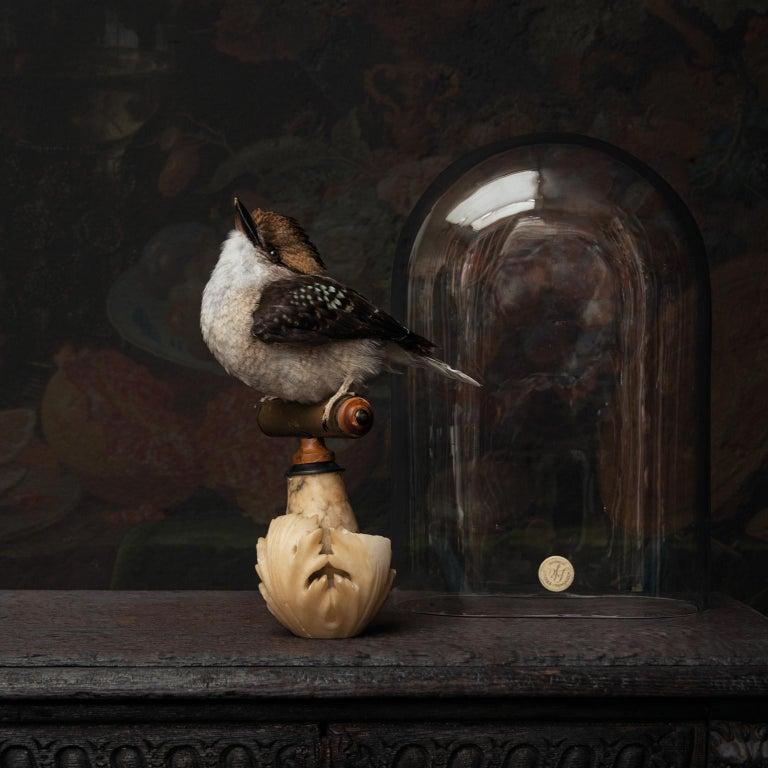 European Fine Taxidermy Laughing Kookaburra by Sinke & Van Tongeren For Sale