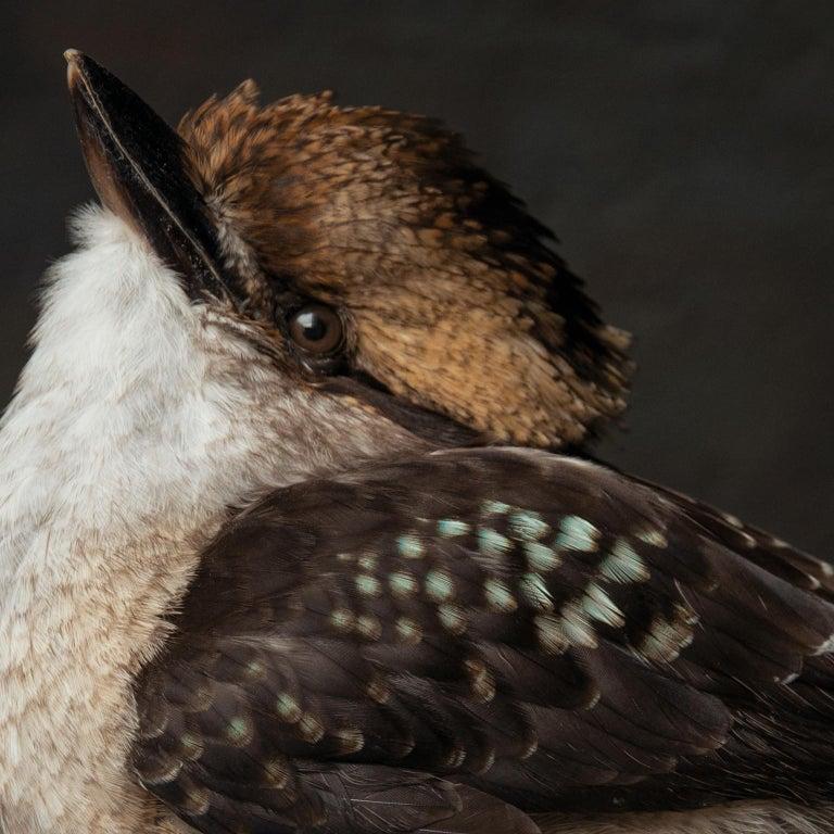 Contemporary Fine Taxidermy Laughing Kookaburra by Sinke & Van Tongeren For Sale