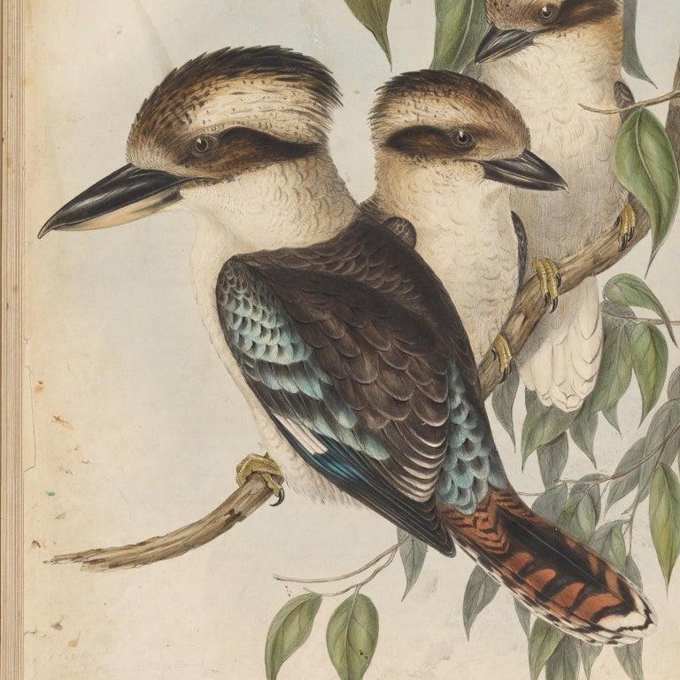 Animal Skin Fine Taxidermy Laughing Kookaburra by Sinke & Van Tongeren For Sale