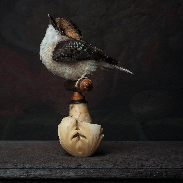 Fine Taxidermy Laughing Kookaburra by Sinke & Van Tongeren For Sale 1