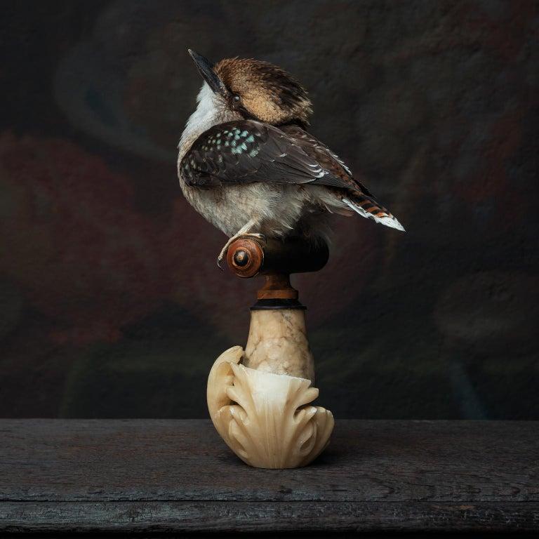 Fine Taxidermy Laughing Kookaburra by Sinke & Van Tongeren For Sale 2