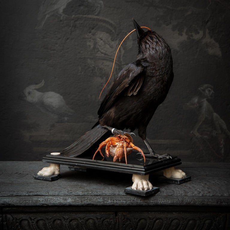 A unique piece by Darwin, Sinke and van Tongeren. A European Raven devouring a Hermit crab. Both sit atop a Noir Belgique marble plinth with Bianco Carrara lion feet.  Note. All animals used for our work came from captivity and died on natural