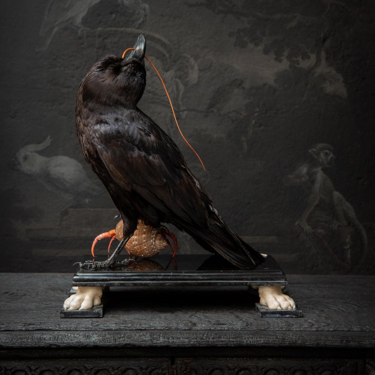Dutch Fine Taxidermy Raven by DS&vT For Sale