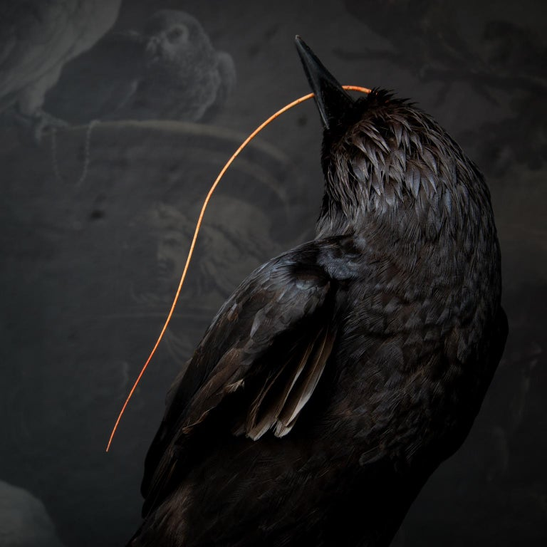 Fine Taxidermy Raven by DS&vT For Sale 2