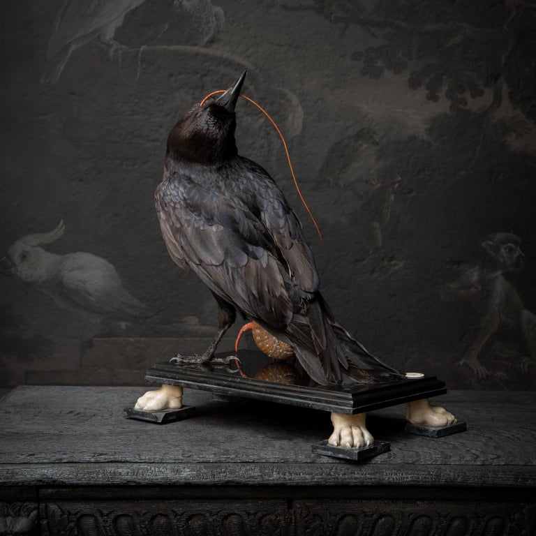 Fine Taxidermy Raven by DS&vT For Sale 4