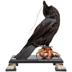 Fine Taxidermy Raven by DS&vT