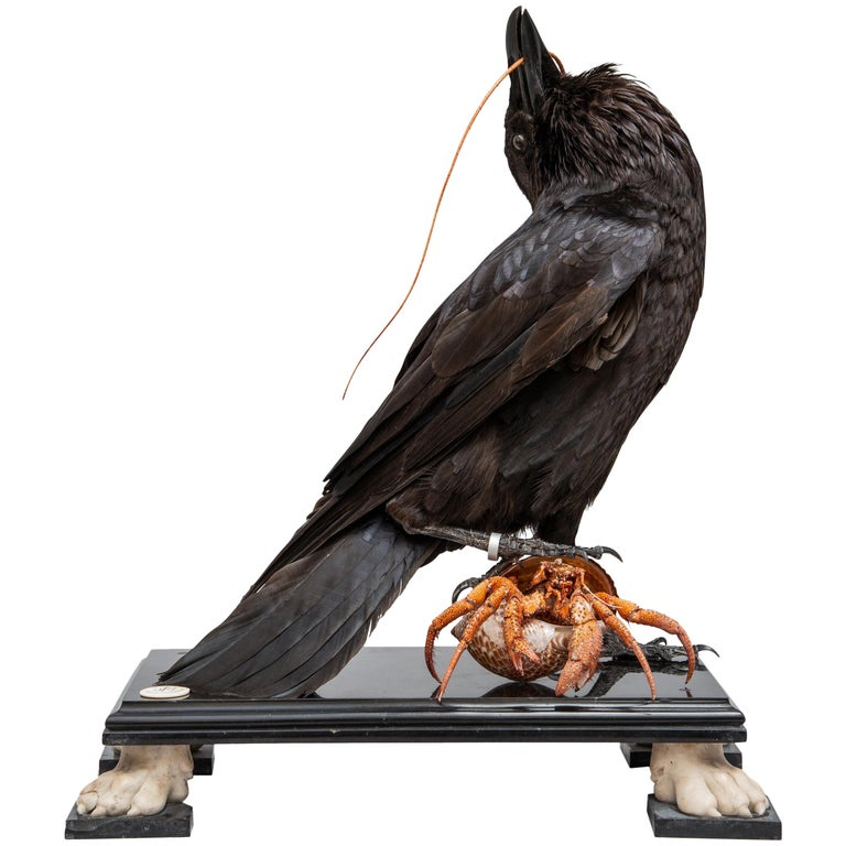 Fine Taxidermy Raven by DS&vT For Sale